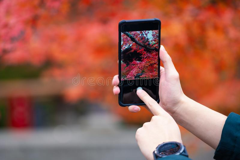 Women hand using smart phone with take photo, Young girl using photography of smartphone of maple leaf red autumn on mobile camera stock photo