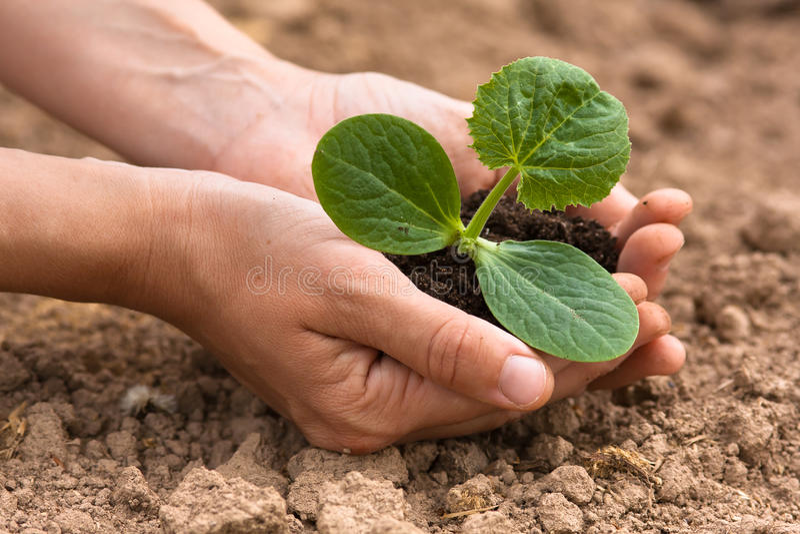 Women hands holding seedling with soil. Women hands holding seedling of vegetable marrow with soil stock images