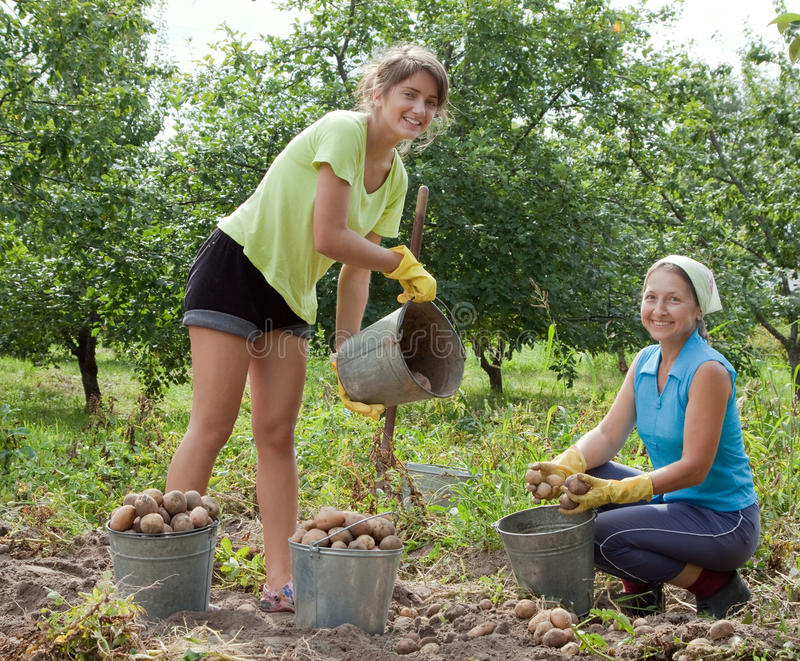 Women Harvested Potatoes Royalty Free Stock Images