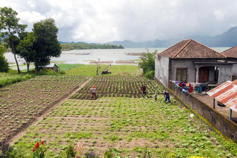 Women harvesting green on Lake Batur. Bali royalty free stock images