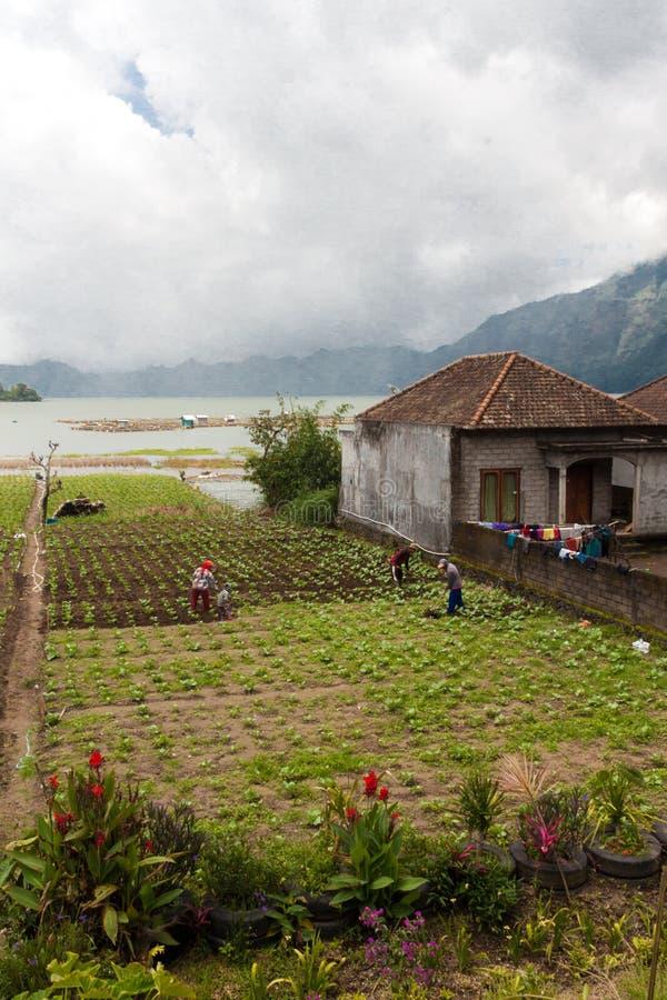 Women harvesting green on Lake Batur. Bali stock photos