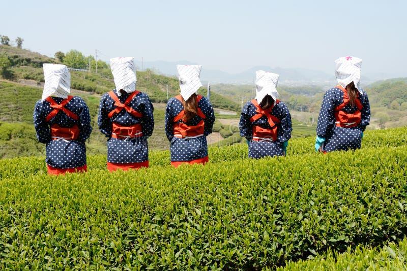 Women Harvesting Green Tea Leaves Stock Photo