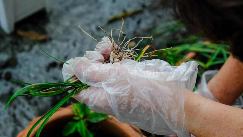 Women left hand in plastic glove protect dirty from soil holding bulb rain lily flower. old female pull tree from orange pot. Women left hand in plastic glove royalty free stock photo
