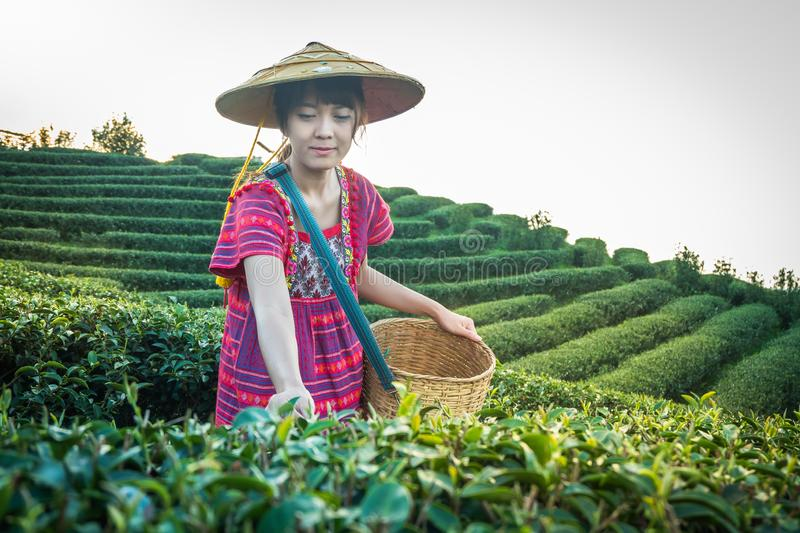 Women in local hill tribe holding young green tea leaves on hill in the evening with sunset ray at Doi Mae Salong Mae Fah Luang Ch stock photos