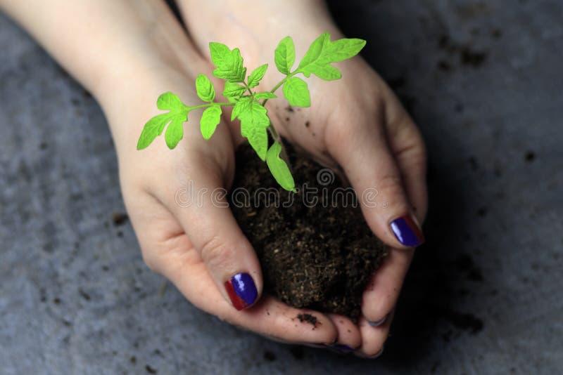 Women& x27 ; mains de s Clous peints maintenez une poignée de la terre dans elle poussent C'est une tomate photos libres de droits
