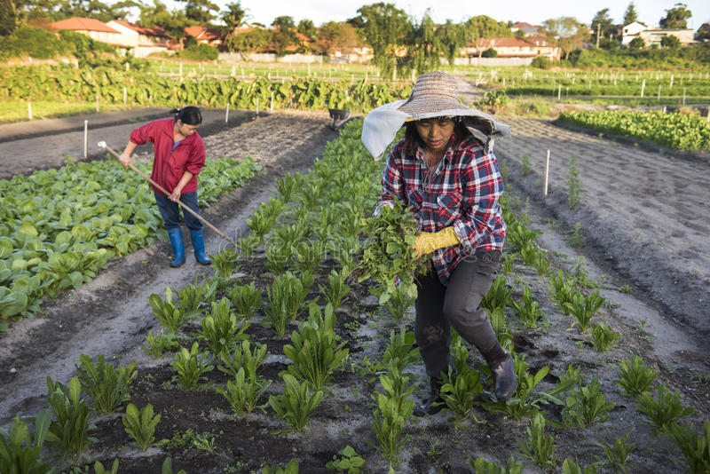 Women market gardeners at work. Chinese female market gardeners pulls weeds and tend to their commercial market garden growing bok choy and other traditional royalty free stock photography