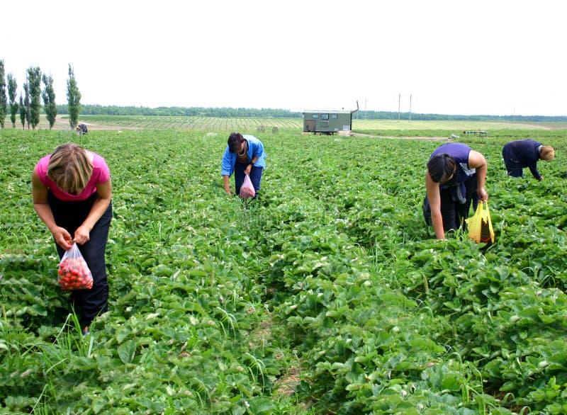 Women pick berries of strawberry stock image