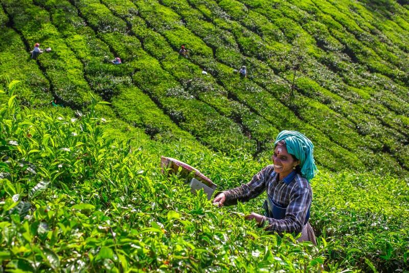 Women picking tea leaves in a tea plantation around Munnar, Kerala. Munnar, India - January 5: Women picking tea leaves in a tea plantation around Munnar, Kerala stock photos