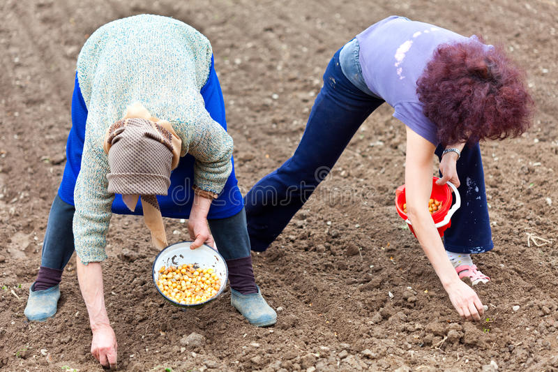 Women planting shallot (young onions) royalty free stock photo