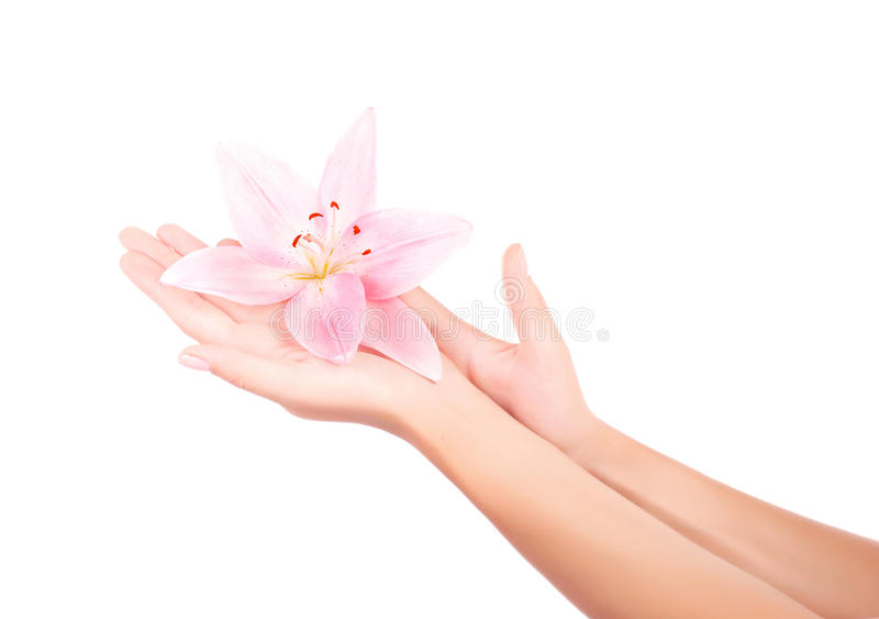 Women's arm holding pink lily flower royalty free stock photography