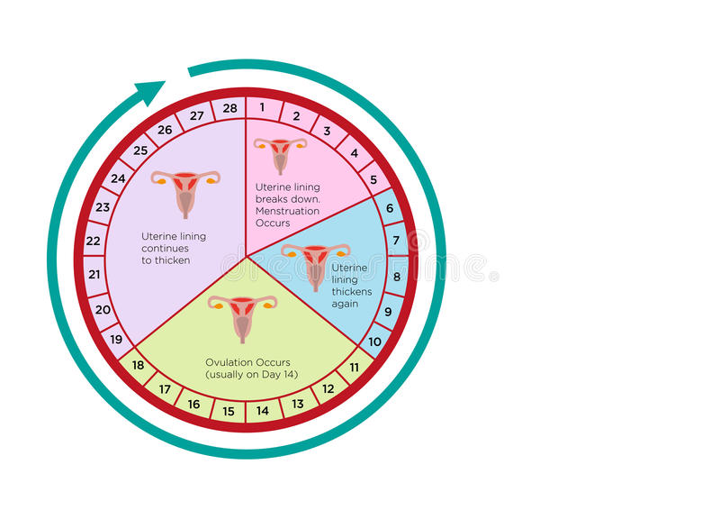 Women's Fertility Cycle Calendar with different stages. Editable Clip Art. Circular chart of ovulation cycle for fertility and pregnancy. Vector and jpg royalty free illustration