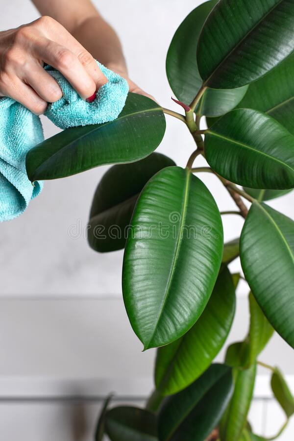 Women`s hands clean leaves of a houseplant from dust. Ficus elastica. Plant care concept. close-up stock photography