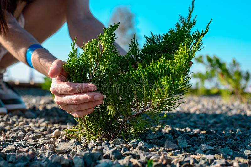 Women`s hands embrace young green tree growing through gravel, nature conservation, environmental protection royalty free stock photo