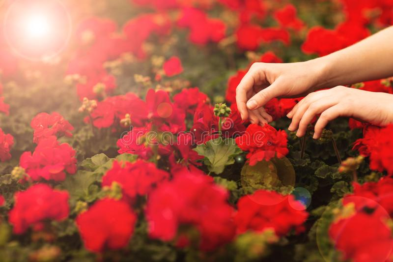 Women`s hands hold beautiful red geranium flowers in the garden royalty free stock image