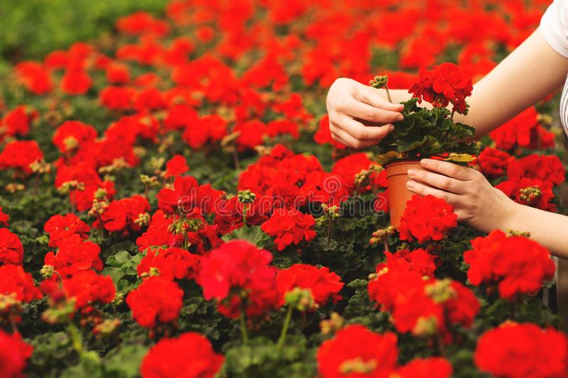 Women`s hands hold beautiful red geranium flowers in the garden stock photo