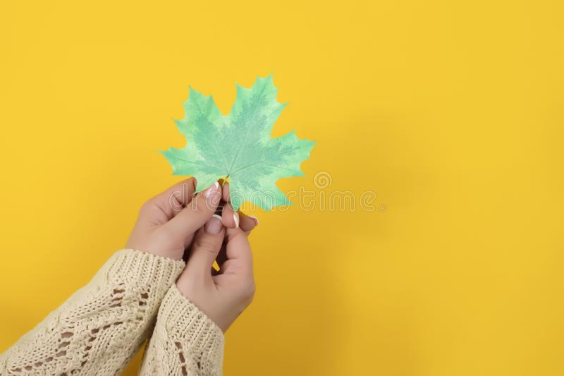 Women`s hands with manicure in warm sweater holding autumn mint leaf stock image