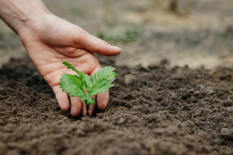 Women`s hands put a sprout in the soil, close-up, Concept of gardening, gardening. copy space.  royalty free stock image