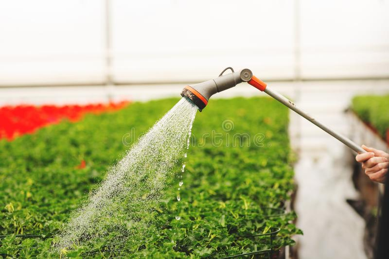 Women`s hands watering flowers and green leaves in the garden stock photos