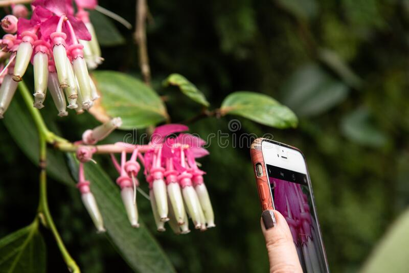 Women taking picture of flowers on her phone royalty free stock photo
