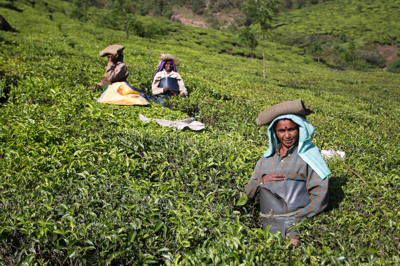 Women on the tea plantation in India stock photography