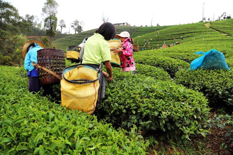 Women from Thailand breaks tea leaves stock images