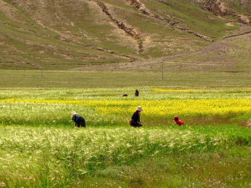 Women working on in the field, Tibet, China. Tibetan women working the fields, protecting their heads with hats, Tibet, China stock photo