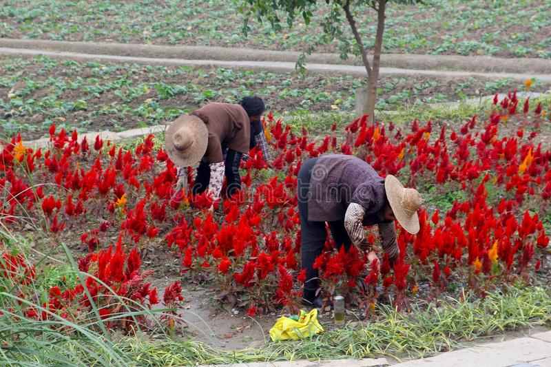 Women at work in the agricultural flower industries in water town Wuzhen, China. Female workers are working in the red flowerfields in the ancient water town stock photography