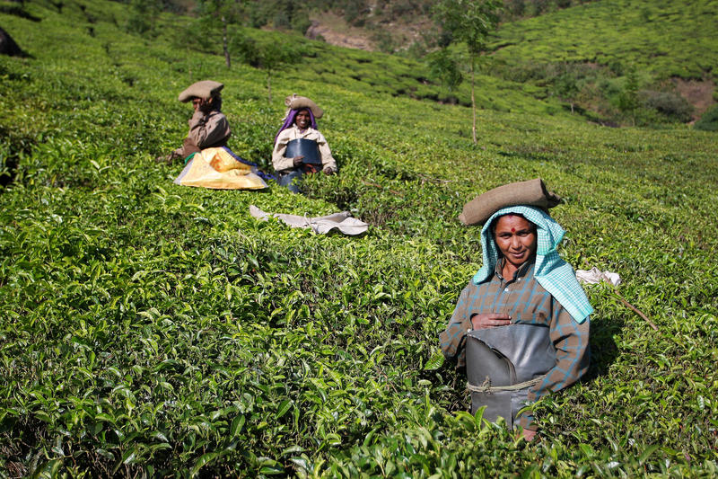 Women works on the suny tea plantation stock photos