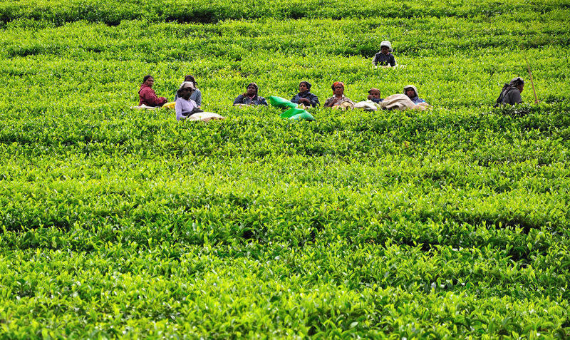 Womn da resto della Sri Lanka nella piantagione di tè. immagini stock libere da diritti