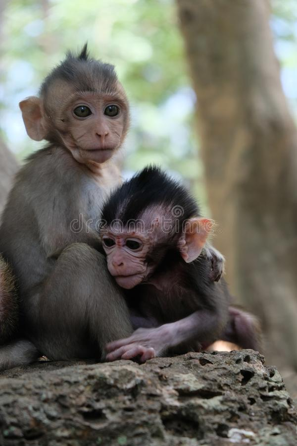 Two monkey babies in Angkor, Cambodia stock images