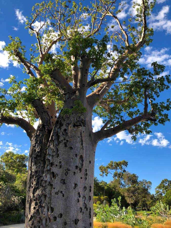 Wonden van grote oude Baobab, Boab-Boom met ruw flard van weefsel stock foto