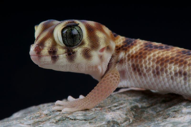 Wonder gecko