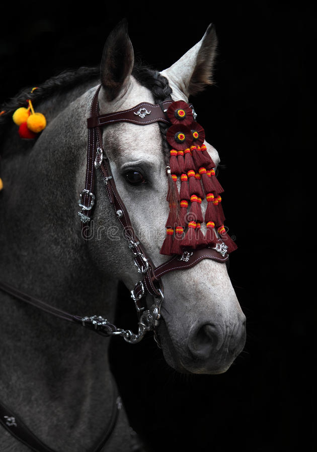 Wonderful Andalusian stallion in horse show Moscow stock images