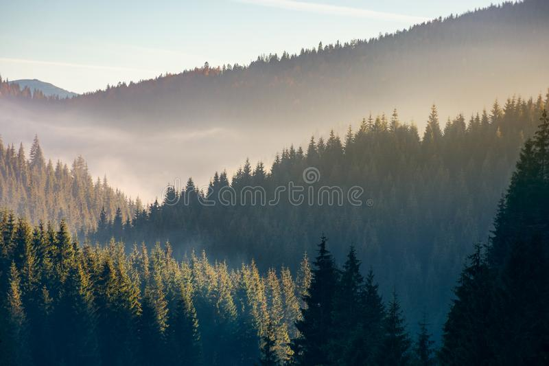 Wonderful autumn weather with fog over forest. Wonderful autumn weather with fog over the spruce forest. mysterious scenery in mountains royalty free stock photo
