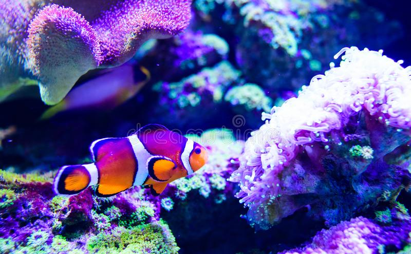Wonderful and beautiful underwater world with corals and tropical fish. Anemone, animal, aquarium, aquatic, background, bahamas, barrier, beauty, blue royalty free stock photo