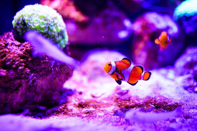 Wonderful and beautiful underwater world with corals and tropical fish. Anemone, animal, aquarium, aquatic, background, bahamas, barrier, beauty, blue royalty free stock image