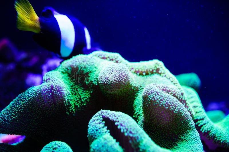 Wonderful and beautiful underwater world with corals and tropical fish. Anemone, animal, aquarium, aquatic, background, barrier, beauty, blue, caribbean, clown stock photo