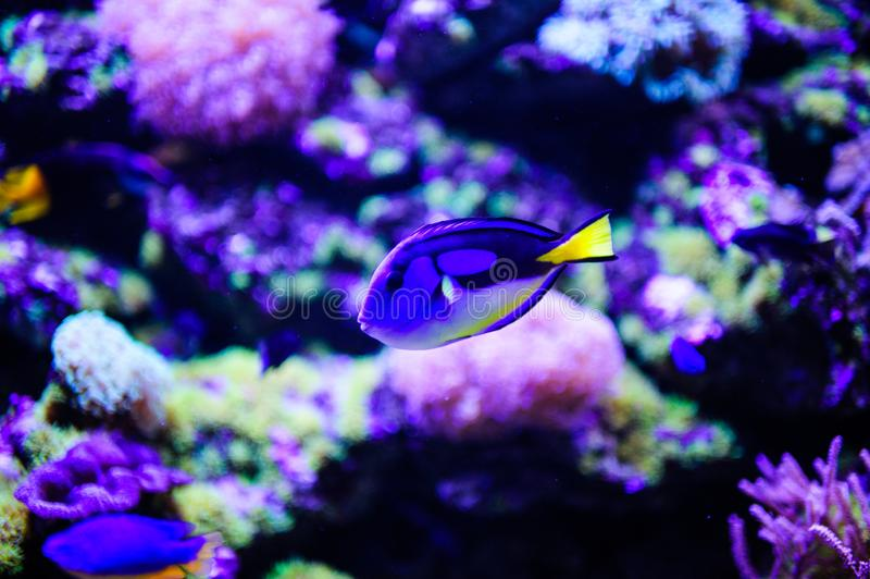 Wonderful and beautiful underwater world with corals and tropical fish. Anemone, animal, aquarium, aquatic, background, barrier, beauty, blue, caribbean, clown royalty free stock images