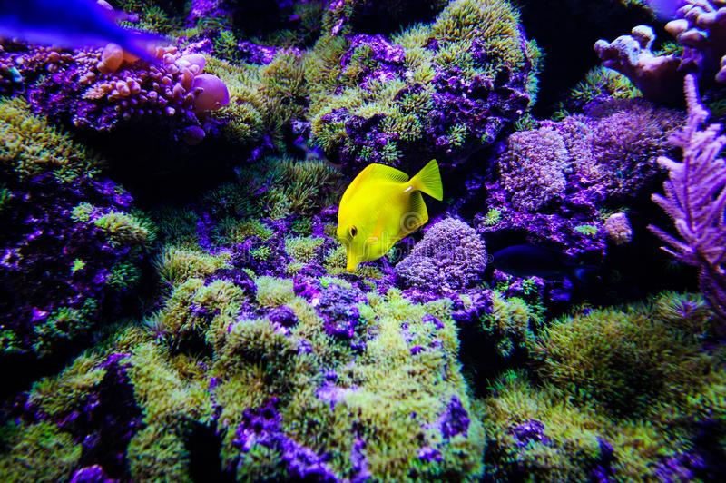 Wonderful and beautiful underwater world with corals and tropical fish. Anemone, animal, aquarium, aquatic, background, barrier, beauty, blue, caribbean, clown stock image