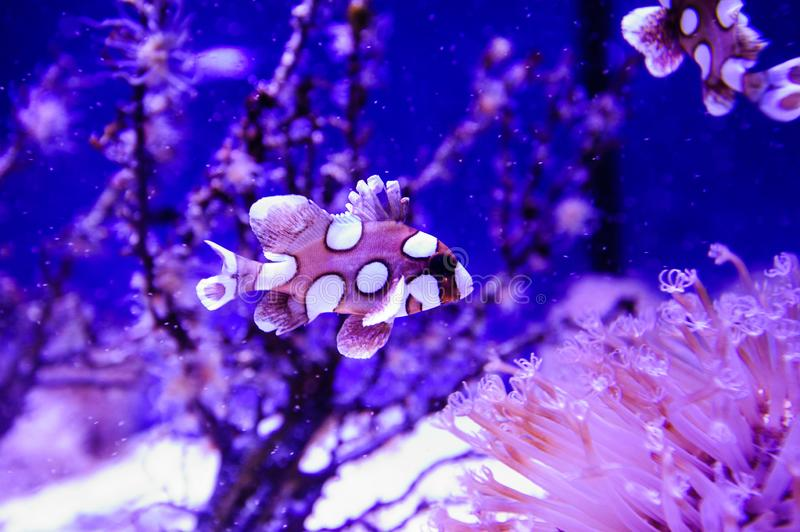 Wonderful and beautiful underwater world with corals and tropical fish. Anemone, animal, aquarium, aquatic, background, barrier, beauty, blue, caribbean, clown royalty free stock photography