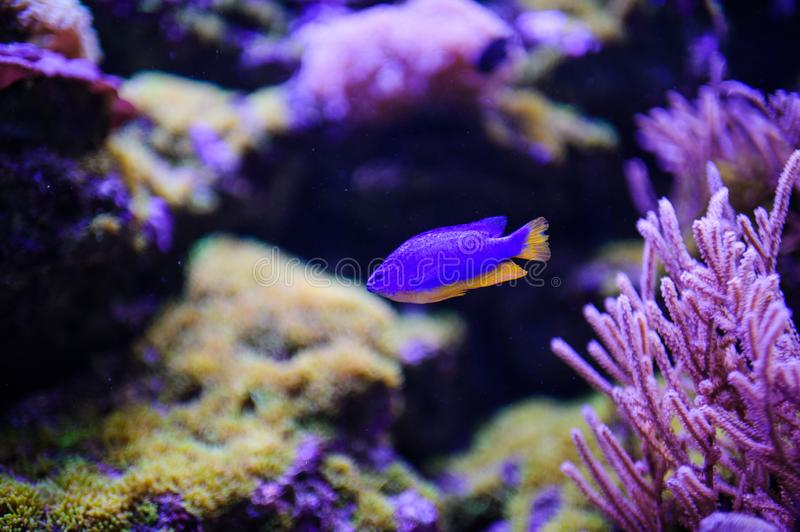 Wonderful and beautiful underwater world with corals and tropical fish. Anemone, animal, aquarium, aquatic, background, barrier, beauty, blue, caribbean, clown royalty free stock photo