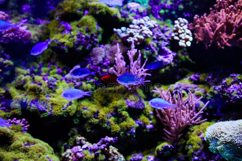 Wonderful and beautiful underwater world with corals and tropical fish. Anemone, animal, aquarium, aquatic, background, barrier, beauty, blue, caribbean, clown royalty free stock photos