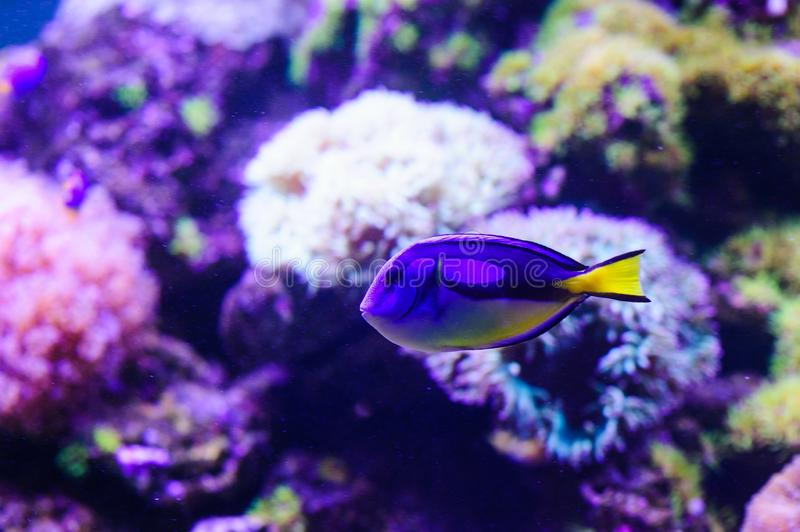 Wonderful and beautiful underwater world with corals and tropical fish. Anemone, animal, aquarium, aquatic, background, barrier, beauty, blue, caribbean, clown royalty free stock image
