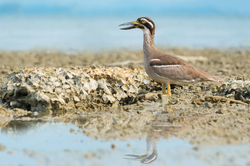 Wonderful bird . Beach Thick knee Esacus neglectus sitting on the reef while the tide is low stock image