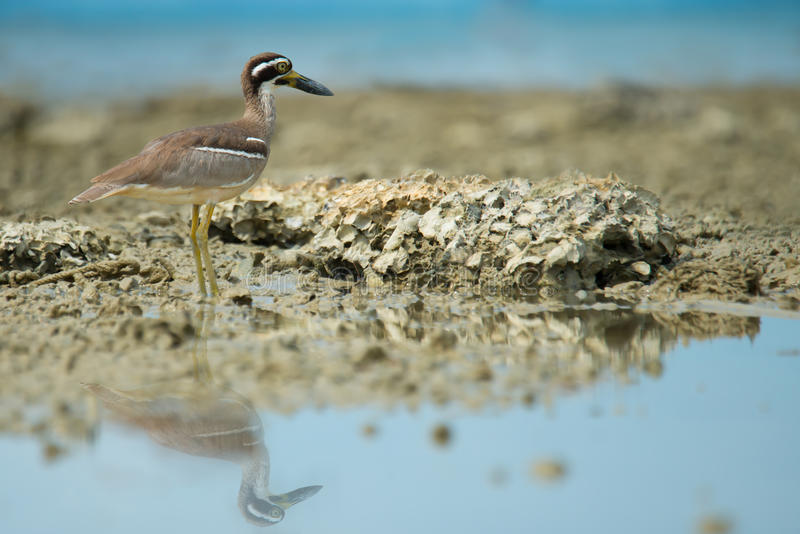 Wonderful bird. Beach Thick knee Esacus neglectus standing on the reef while the tide is low royalty free stock photo