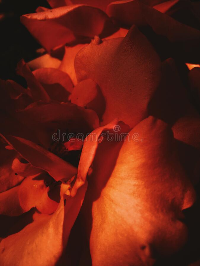 Wonderful blooming rose flower at sunset, floral beauty background. Garden flowers, beautiful nature and romantic holiday concept - Wonderful blooming rose royalty free stock photography