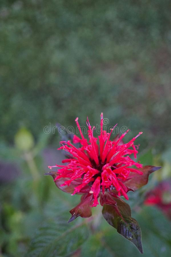 Wonderful blossomed Monarda didyma -Scarlet beebalm- with beautiful leafs - Picture 2 of 4 royalty free stock photo