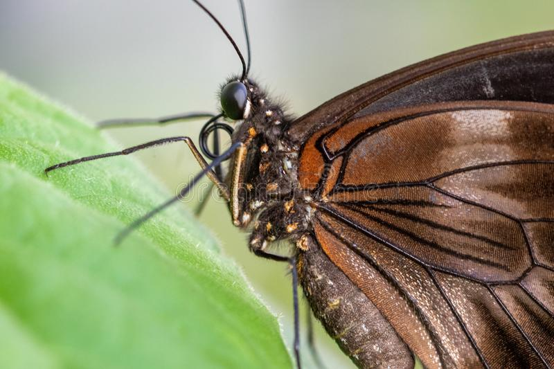 A wonderful brown butterfly resting on a green leaf - macro photography.  royalty free stock images