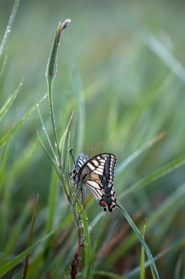 Wonderful butterfly Papilio machaon in the early morning in the dew. Spread its wings in the grass on the meadow stock photography
