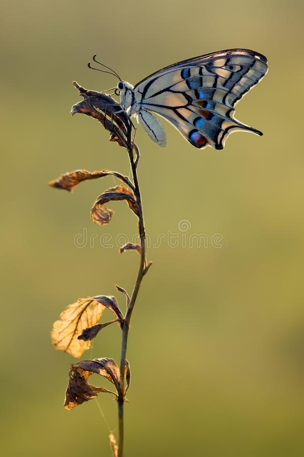 Wonderful butterfly Papilio machaon royalty free stock photos